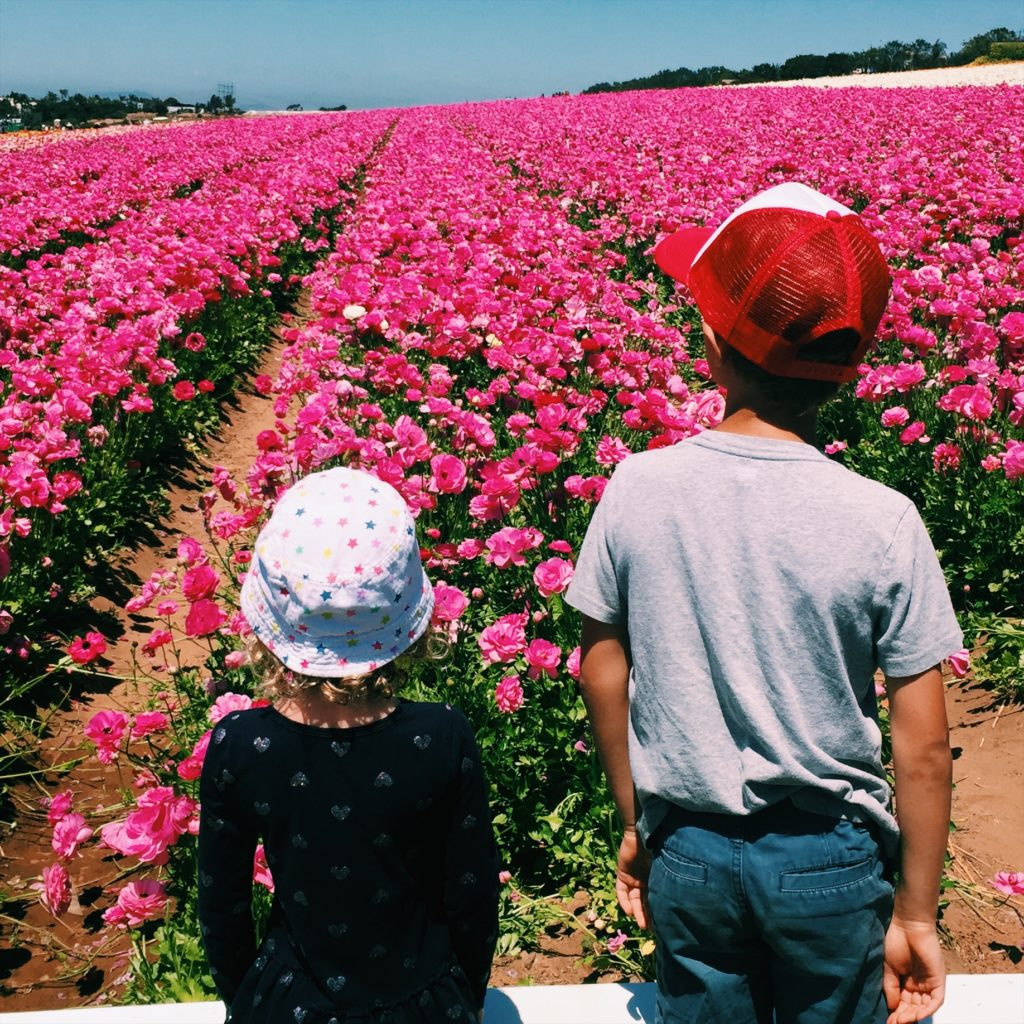 Pink Ranuculus in Carlsbad Flower Fields