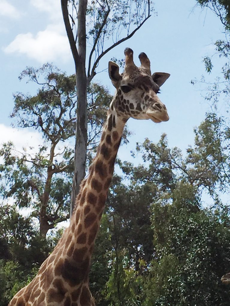 Giraffe at the San Diego Zoo