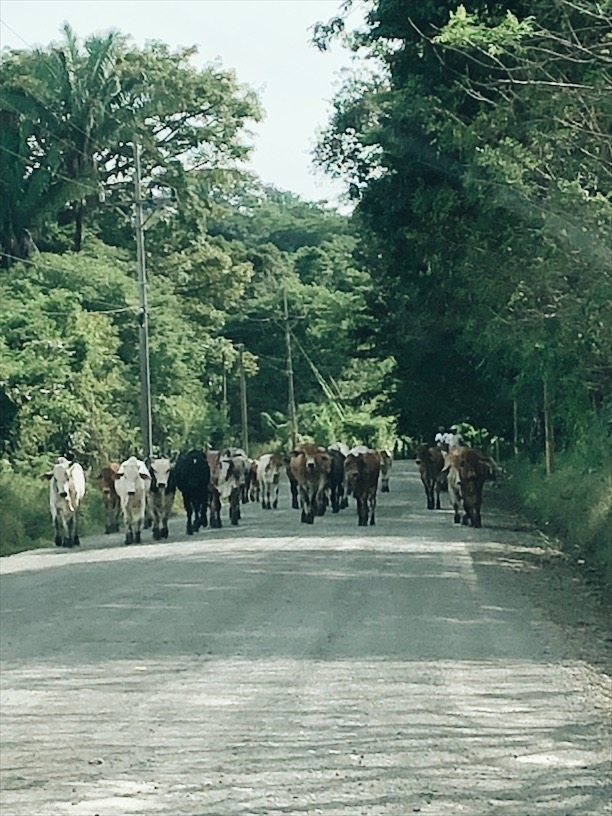 Cows in Costa Rica
